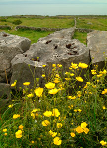 Aran Islands Flowers Stones