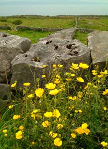 Aran Islands Flowers Stones