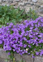Cashel-rock-wall-purple