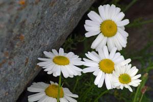 Doolin-daisies