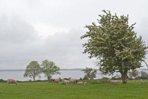 Rindoon-sheep-lake